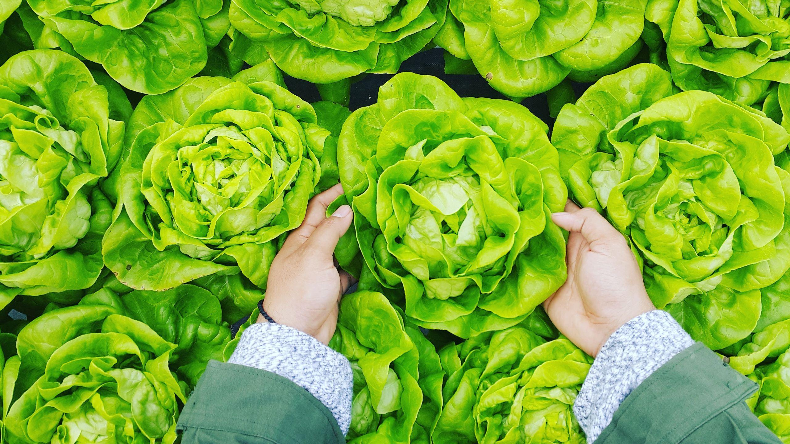 Person erntet Salatkopf